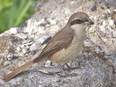 DSC03623 (phenixliu68) Tags: shrike bird nature 紅尾伯勞 伯勞 候鳥 動物 戶外 野生 生態攝影