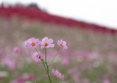 On a cloudy day 秋桜 (keiko*has) Tags: cosmos cloudy field bokeh red コスモス コキア ひたち海浜公園 曇天