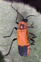 Chauliognathus profundus (aliceinwl1) Tags: az arizona arizona2018 arthropod arthropoda cantharidae chauliognathinae chauliognathini chauliognathus chauliognathusprofundus chiricahuamountains cochisecounty coleoptera elateroidea insect insecta polyphaga serieselateriformia soldierbeetle beetle locpublic profundus viseveryone