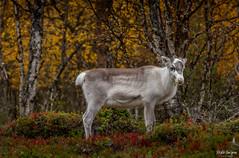 IMG_9984 (Risto Kuisma) Tags: finland finlande forest canon autumn trees ruska poro reideer rein lappi ren nature animal mammal outdoor lapland