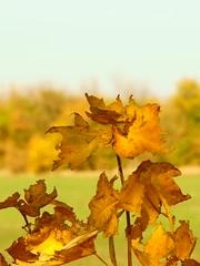 Рыжие узоры осени / Red ornaments of autumn (Владимир-61) Tags: осень октябрь природа листва лист дерево небо желтый зеленый green yellow sky tree leaf foliage nature autumn october sony ilca68 minolta28135