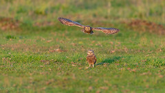 Double Owls (eric-d at gmx.net) Tags: owl owls littleowl strigidae athenenoctua steinkauz kauz eric