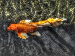 Wow Koi (Robert Cowlishaw (Mertonian)) Tags: elegant beauty beautiful wonder awe ineffable morning hawaii maui deeply canonpowershotg1xmarkiii markiii g1x powershot canon robertcowlishaw mertonian forsophia fish koi