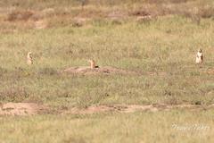 Black-footed Ferret picks its next target