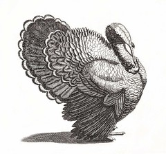 A Turkey by Johan Teyler (1648-1709). Original from the Rijks Museum. Digitally enhanced by rawpixel. (Free Public Domain Illustrations by rawpixel) Tags: otherkeywords animal antique art avian beak beautiful bird black breed decoration decorative design drawing elegance elegant etching farm fauna feather feathers fowl gray grey illustrated illustration johanteyler kitchen name nature old ornithology painting paper perched plumage portrait poultry retro rijksmuseum species standing style tail thanksgiving trait turkey vintage wild wildlife wing wings