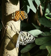 Tree nymph, paper butterfly & Heliconius ismenius (Linda DV (away)) Tags: lindadevolder lumix panasonic belgium animalpark antwerpzoo geotagged 2018 zoo zooantwerpen cityzoo fauna animal butterfly insect