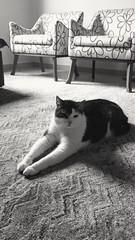 El pirata! (D.Ferri) Tags: gato gatto gatito tom gatopirata pussy cat felino