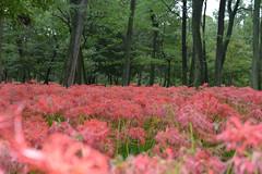 Hi, Red Spider Lilly (kzmiz) Tags: nikond800e kzmiz japan saitama hidaka koma hongo cluster amaryllis red spider lilly kinchakuda festival cpl