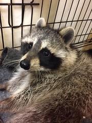 Wood Garden (Peter Granka) Tags: raccoon