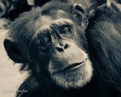 Been around (JKmedia) Tags: chimpanzee chimp ape monkey boultonphotography 2018 chesterzoo primate sonyrx10iii animal