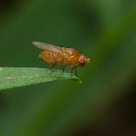 Lauxaniidae sp. thumbnail