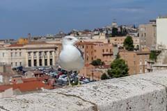 30. (Manupastor43) Tags: mar birds gaviota 50mm18 200d eos cerdeña caligari