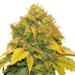 banana-kush-seeds-fem_large (Watcher1999) Tags: banana kush kushpurple thc weed cannabis medical marijuanacannabis seeds growing strain marijuana bob marley plant weeds smoking legalize it ganja reggae