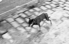 Stray dog (Manuel Goncalves) Tags: road dog straydog animal blur blackandwhite agfaapx400 35mmfilm 50mmlens pentaxme epsonv500scanner