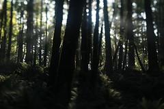 Mount Talbert (Tony Pulokas) Tags: oregon portland mttalbert mounttalbertnaturepark bokeh blur mounttalbert tilt tree forest maple bigleafmaple autumn fall douglasfir fern swordfern fog