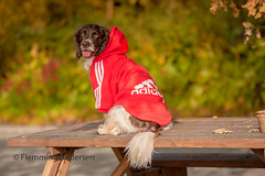 40/52 Training in red (Flemming Andersen) Tags: 52weeksfordogs dog zigzag spaniel training nature red outdoor hund autumn animal bedsted northdenmarkregion denmark dk