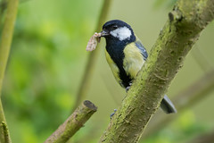 Great Tit-2 (Geoff Brightmore) Tags: greattit 2018 birds horncastle may nature wildlife