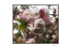 Cherry (Helios) (radspix) Tags: sony ilce a7r 58mm helios 4m4 f2