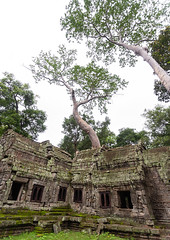 Ta Prohm temple overgrown with tree roots, Siem Reap Province, Angkor, Cambodia (Eric Lafforgue) Tags: abandoned ancientcivilisation angkor angkorwat apsara archaeology architecture artscultureandentertainment asia beautyinnature buddhism buddhist builtstructure cambodia colourimage environment famousplace history indochina khmer lush majestic monument nopeople oldruin outdoors rediscovered religion root ruin southeastasia spirituality temple templebuilding tetramelesnudiflora traditionallycambodian tranquility travel traveldestinations tree unescoworldheritagesite vertical wat yasodharapura camboimg9647 siemreapprovince