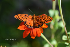 Gulf Fritillary Butterfly (Glenn Hultgren) Tags: butterfly butterflies glennhultgrenphoto insect insects bug bugs wildlife wildlifephotography nature naturephotography naturelover