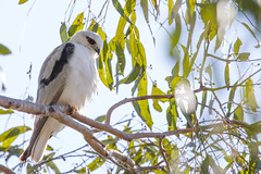 Black-shouldered Kite (petefeats) Tags: accipitriformes accipitridae australia birds blackshoulderedkite brisbane elanusaxillaris nature oxleycommon queensland