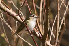 IMG_6948 Red-eyed Vireo (suebmtl) Tags: bird birding longpoint ontario spring migration redeyedvireo vireoolivaceus vireo canada