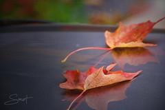 Feuilles mortes ... ( P-A) Tags: feuillesmortes automne couleurs saisons mortes vivantes saturations nature nuances lacbeauchampvisiteurs activités animations santé plages arbres forêtnikond800 photos simpa© ´´magicmoments´´