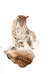 Dominance (Celebrating over 2 million views. Thank you) Tags: lynx bigcats norway eurasianlynx highkey wildcats forest dominance scandinavia