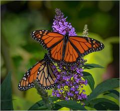 October Monarchs (Summerside90) Tags: butterflies insects octobermonarchs monarchbutterfly october fall migration backyard garden butterflybush nature wildlife ontario canada