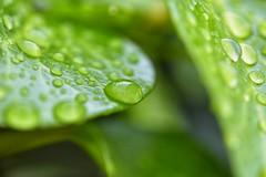 Los ojos derraman lágrimas cuando el corazón grita: ¡ basta ya!. (elena m.d.) Tags: verde green lluvia rain colores colors new macromondays 7dwf nikonñd5600 sigma sigma105