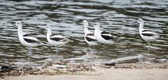 Malibu Lagoon - October 2018 (morrisonbrett) Tags: americanavocet bird lagoon malibu california unitedstates us