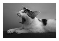 Merci de ne pas me déranger... (DavidB1977) Tags: chat cat katze monochrome bw nb fujifilm x100f