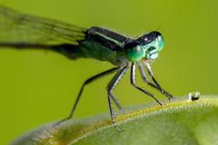 Green Eyes and a Goatee, Pt. 2 - _TNY_3900 (Calle Söderberg) Tags: macro canon5dmkii 5d2 canon5dmarkii canoneos5dmarkii canonef100mmf28usmmacro raynox dcr250 flash meike mk300 glassdiffusor vietnam phuquoc mercuryphuquocresortvillas insect damselfly damsel flickslända odonata zygoptera coenagrionidae coenagriondea ischnura senegalensis commonbluetail marshbluetail ubiquitousbluetail dartlet senegalgoldendartlet africanbluetail compoundeyes green greeneyes drop droplet leaf waterdrop f22