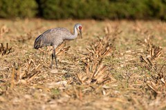 Sandhill Crane (r.wiper) Tags: sandhill cranes sandhillcranes wildlife canon nature crane