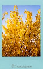 Herbst # 004 # Fuji Neo90 classic instax mini color SKY BLUE - 2018 (íṛíṡíṡôṗĕñ ◎◉◎) Tags: fuji neo90 classic instax mini farbe color irisisopen analog film sofortbild instant sky blue