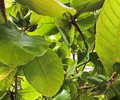 In the bush (Irina.yaNeya) Tags: uae emirates dubai nature green tree leafs plant iphone color eau dubái naturaleza verde árbol يورق hojas planta الامارات دبي طبيعة أزرق شجرة نباتات оаэ эмираты дубаи природа зелень дерево листья растение