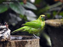 DSCN4367 Jerdon's Leafbird-Female (Chloropsis jerdoni) (vlupadya) Tags: greatnature animal aves fauna indianbirds jerdons leafbird chloropsis kundapura karnataka