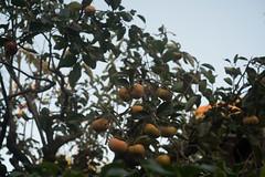 _DSC0611.jpg (plasticskin2001) Tags: leicasummicron50mmf2 fruit