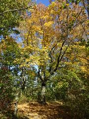 Ahorn im Herbst (Thomas230660) Tags: sonne herbst flora sony arnstadt wanderung landschaft landscape bäume thüringen trees blätter