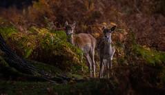 Fawns in Autumn (neil 36) Tags: fawn deer woodland autumn cervidae babydeer nature wildlife outdoors woodlands rutting auyumnal
