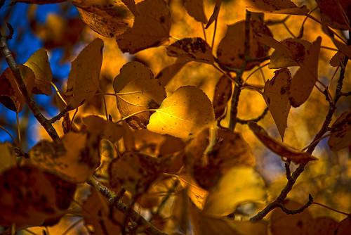 Lundy Canyon Aspen Leaf 2