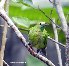 DSCN4358 Jerdon's Leafbird-Female (Chloropsis jerdoni) (vlupadya) Tags: greatnature aves fauna animal indianbirds jerdons leafbird chloropsis kundapura karnataka