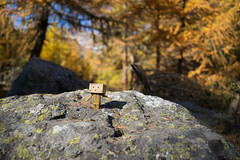 Dieter in the woods (Toni_V) Tags: m2409653 rangefinder digitalrangefinder messsucher leicam leica mp typ240 type240 28mm elmaritm12828asph dieter danbo danboard revoltech herbst atun autumn spinaspreda graubünden grisons grischun dof bokeh lärchen wald woods forest switzerland schweiz suisse svizzera svizra europe alps alpen ©toniv 2018 181020