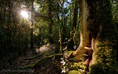 Spotlit Ganoderma Applanatum (Panorama Paul) Tags: paulbruinsphotography wwwpaulbruinscoza southafrica southerncape gardenroute knysnaforest ganodermaapplanatum mushroom fungus elephants waterfall reflections nikond800 nikkorlenses nikfilters