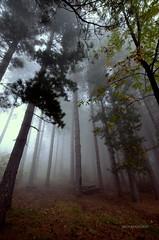 L'abbraccio della Nebbia (Arcieri Saverio) Tags: calabria nebbia montagna mountain pini albero italia italy bosco woods autunno autumn