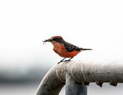 Vermilion Flycatcher (robertemond) Tags: rarebird juvenile vermilionflycatcher doubledikes stony bayou