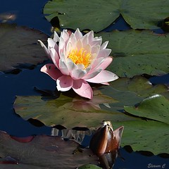 Distant Beauty (Eleanor (No multiple invites please)) Tags: flower leaves waterlily pinkflower reflections littlecommonpond pond stanmore uk nikond7200 september2018