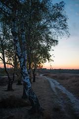 (Ir3nicus) Tags: ausen baum birke demaasduinen dämmerung himmel natur niederlande weg wellerlooi limburg nl outdoor tree birch dusk sky nature netherlands path nikon d700 dslr