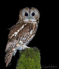Tawny Owl (Nigel Hodson) Tags: canon 1dx 600mmf4ii owl tawny tawnyowl owls birds birdphotography bird nature naturephotography wildlife wildlifephotography ianhowells