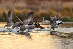 D4S_6939 (Bartek Olszewski) Tags: deer ducks birds bird wildlife wild wood water woods wings nature nikon nikond4s natureza